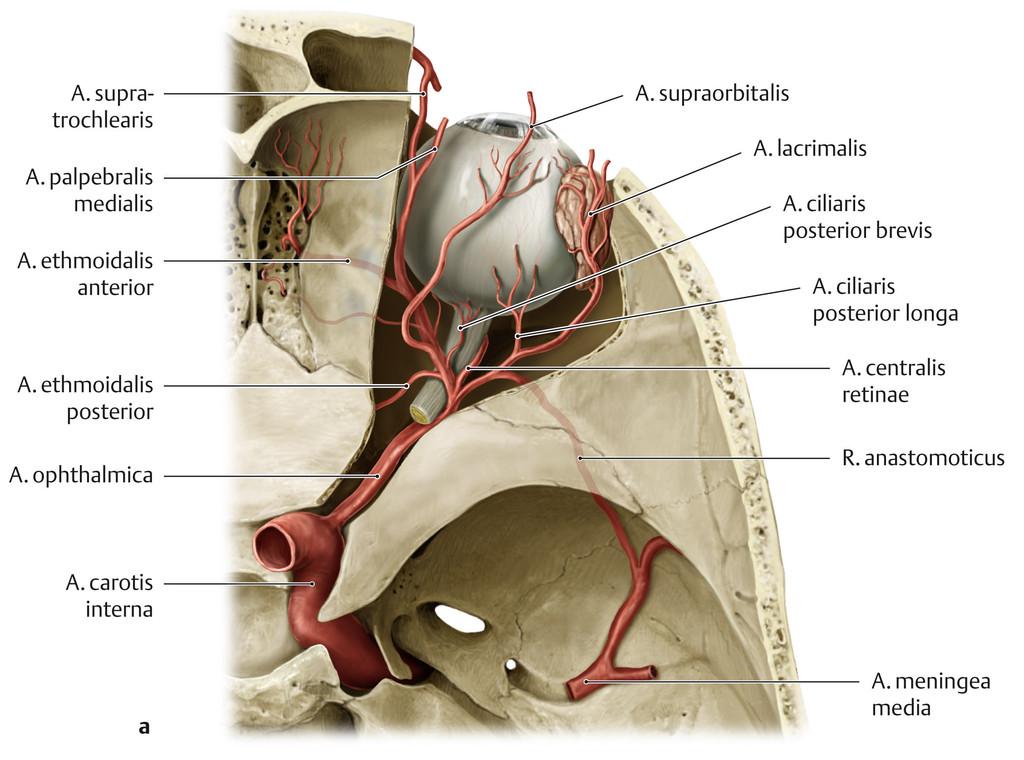 Gemütlich Anatomie Arteria Carotis Galerie - Menschliche Anatomie ...
