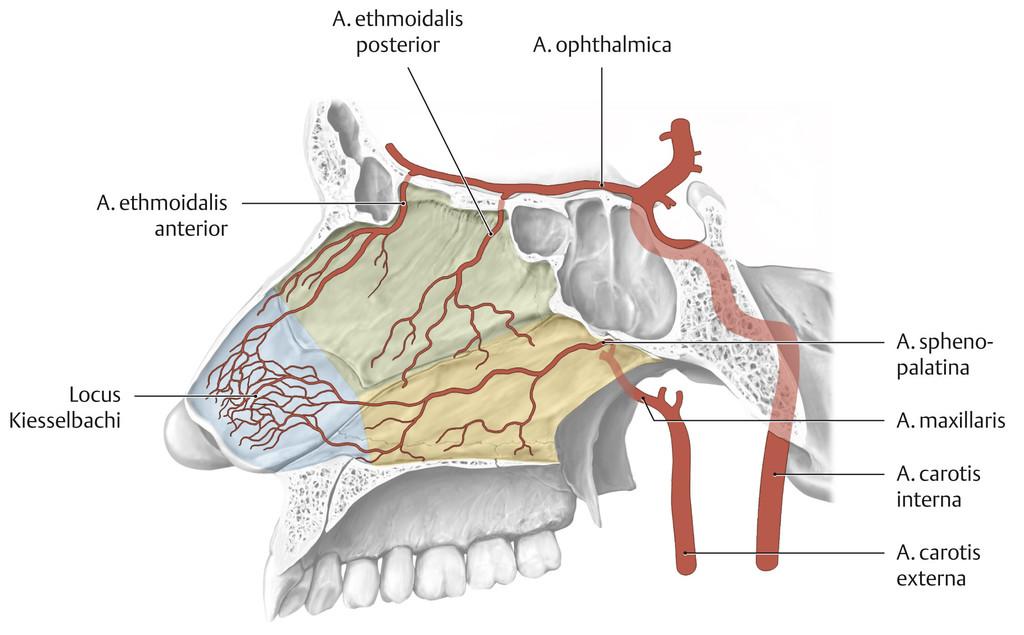 Gemütlich Anatomie Nasenseptums Fotos - Menschliche Anatomie Bilder ...