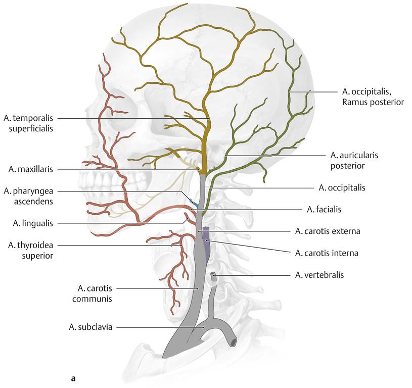 Großartig A. Carotis Interna Anatomie Ideen - Menschliche Anatomie ...