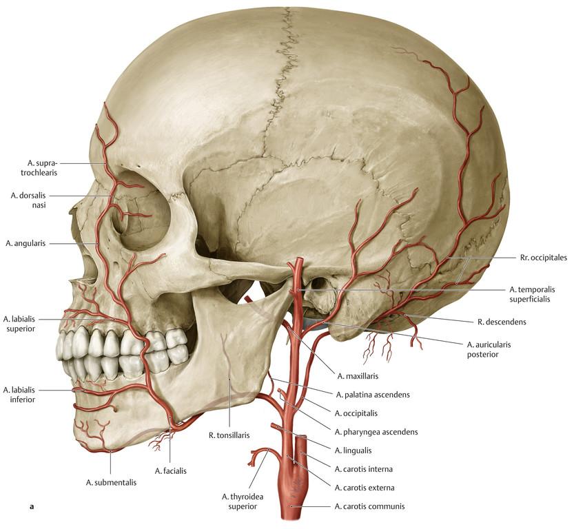 Atemberaubend A. Carotis Externa Galerie - Menschliche Anatomie ...