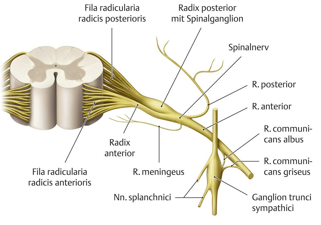 Nett Spinalnerv Anatomie Diagramm Ideen - Anatomie Ideen - finotti.info