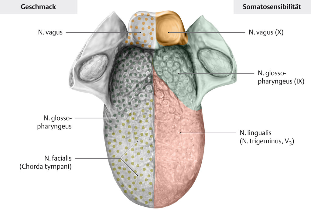 Großzügig Zunge Anatomie Diagramm Fotos - Menschliche Anatomie ...