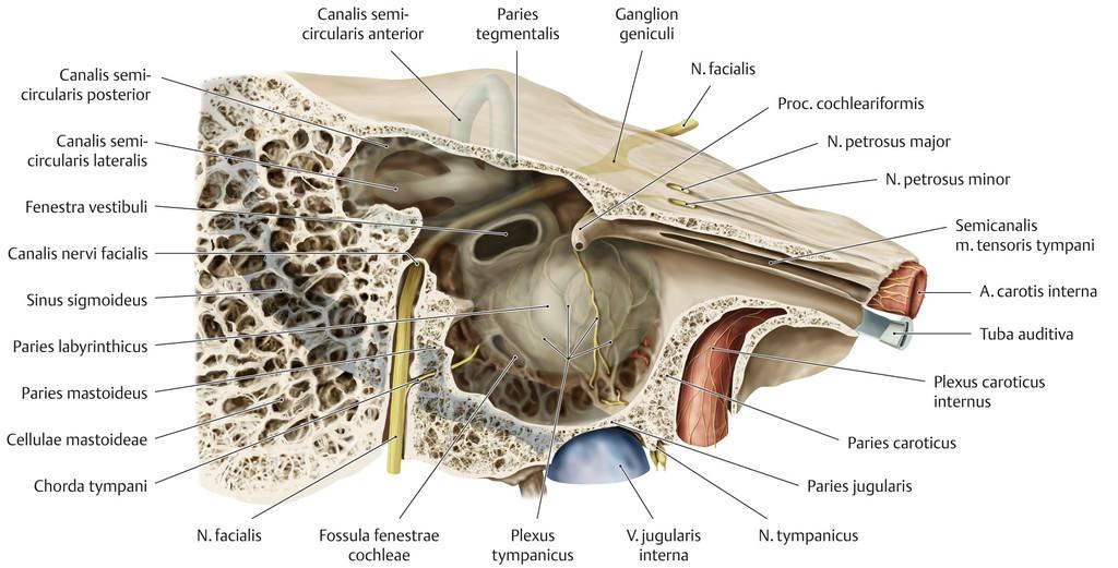 Fantastisch Felsenbein Anatomie Bilder - Menschliche Anatomie Bilder ...