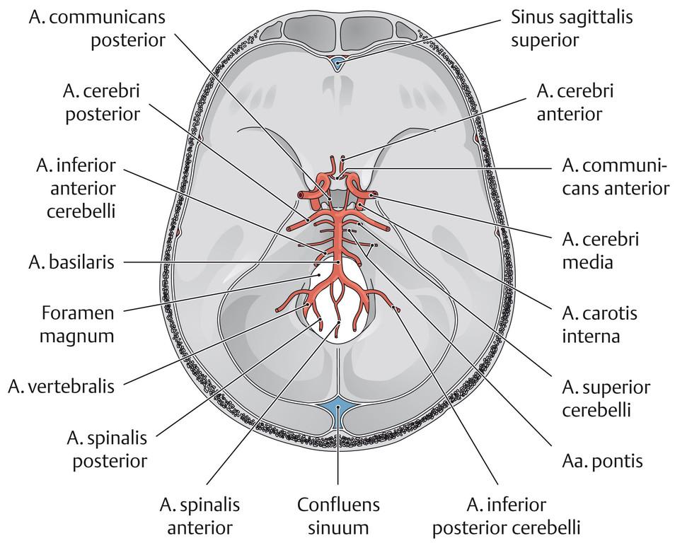 Fein Arteria Cerebri Media Anatomie Galerie - Menschliche Anatomie ...