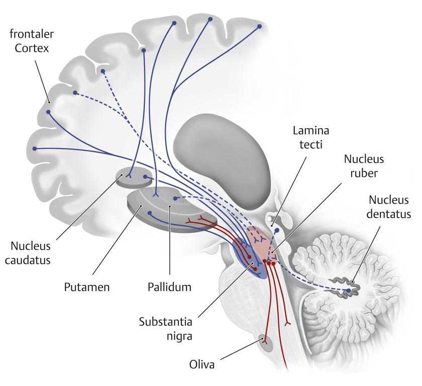 Ausgezeichnet Makroskopische Anatomie Des Kleinhirns Zeitgenössisch ...