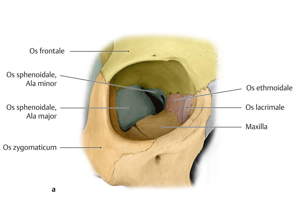 Schön Augen Knochen Anatomie Fotos - Menschliche Anatomie Bilder ...