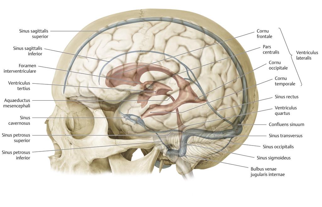 Ungewöhnlich Hirnstrukturen Galerie - Menschliche Anatomie Bilder ...