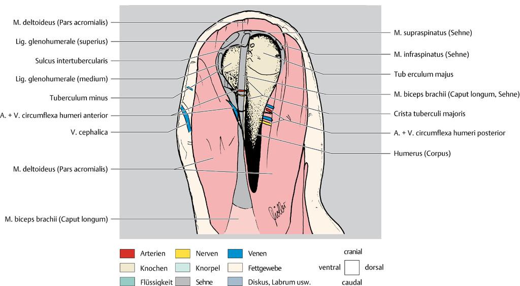 Atemberaubend Schulter Anatomie Mri Ideen - Anatomie Ideen - finotti ...