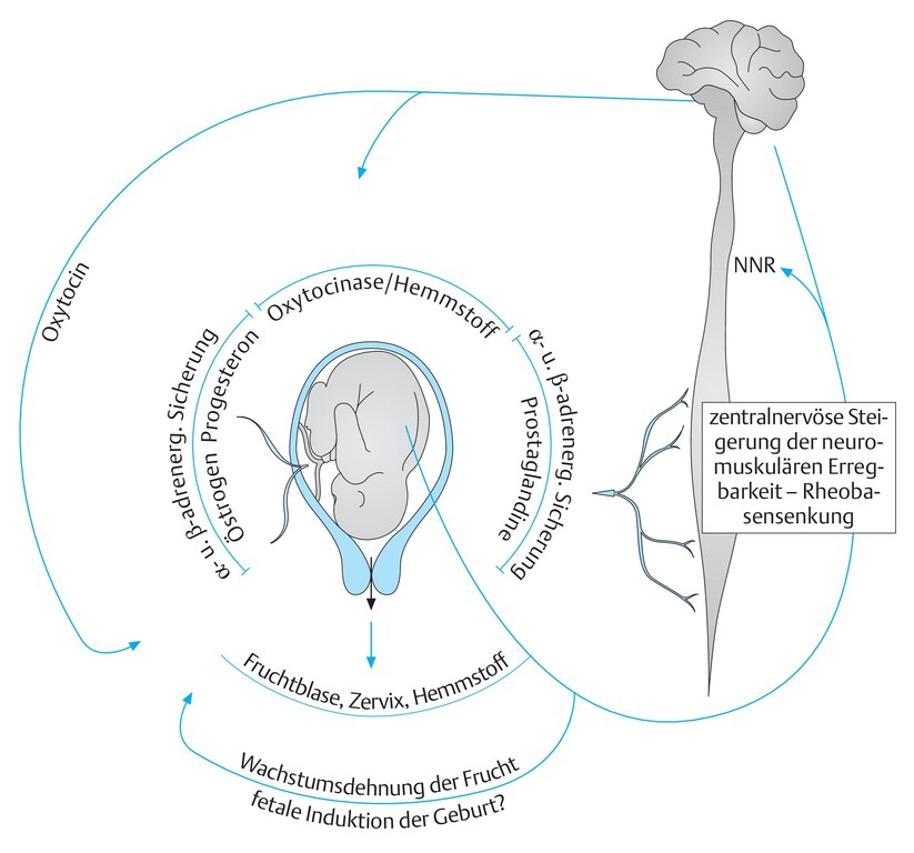 Intrauterine Gravidität
