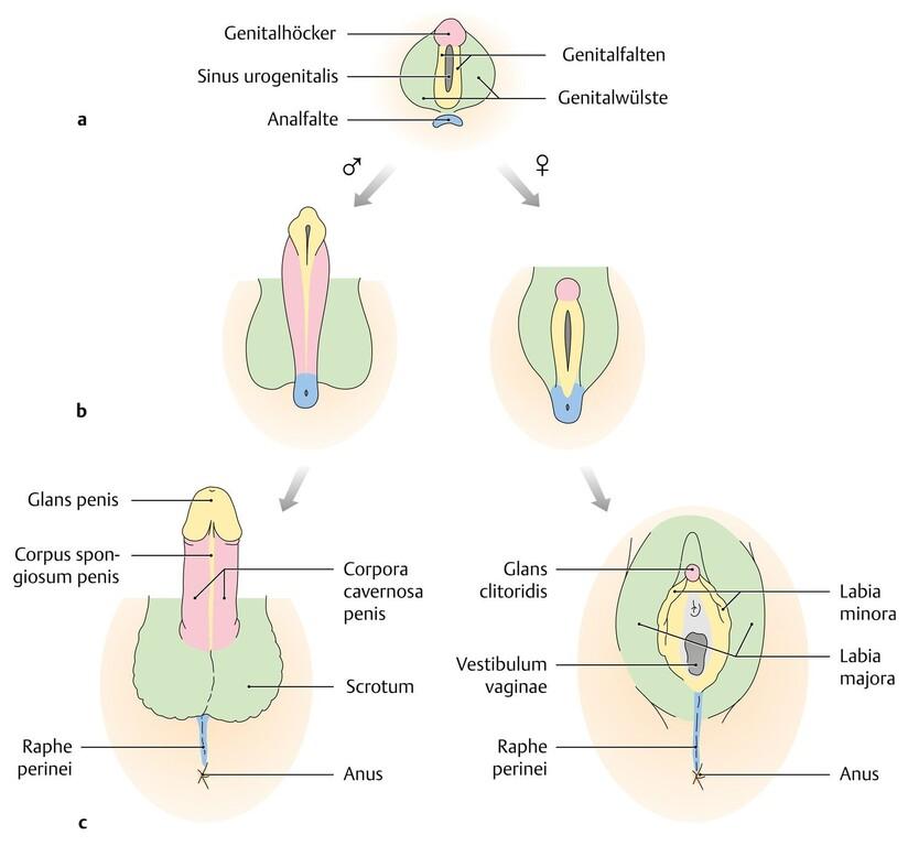 Geschlechtsentwicklung Fötus