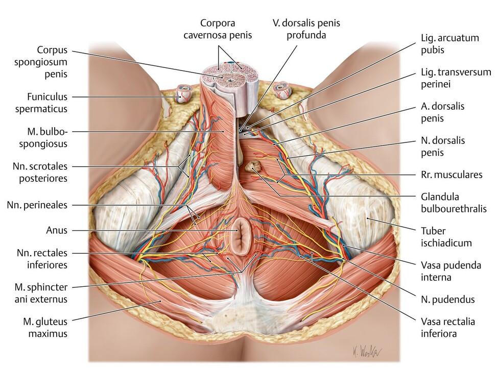 Penis Muskel