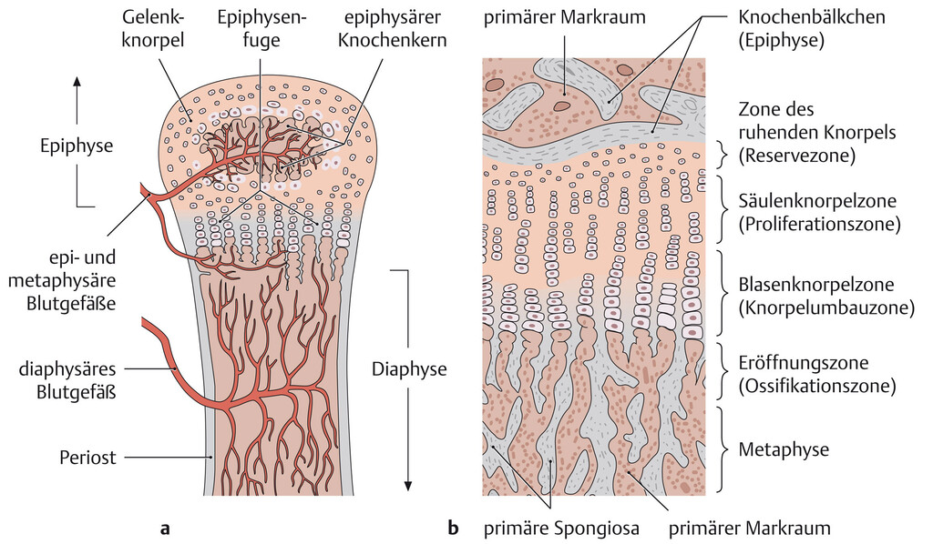 Thorax Anatomie Eref Thieme Synchondroses are different than symphyses (secondary cartilaginous joints) which are formed of fibrocartilage. thorax anatomie eref thieme